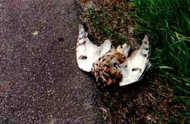 Ugle fundet død vej vejen