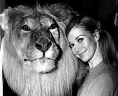 Løve udstoppet af Johannes Erritzoe